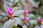 Rhododendron Bud and Friend
