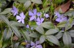 Vinca Blooming