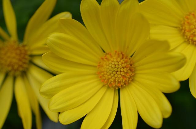 Osteospermum Balvoyelo