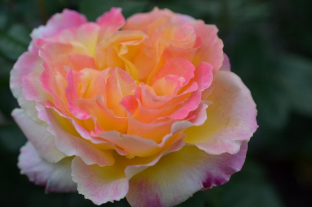 yellow and pink rose (640x424)