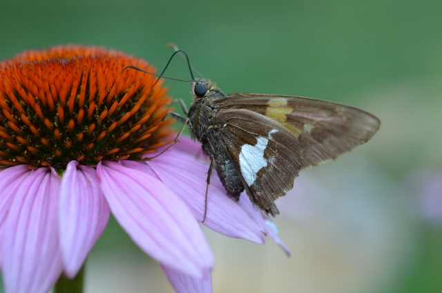 butterfly on cone flower (640x424)