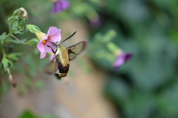 hummingbird moth 4 (640x424)