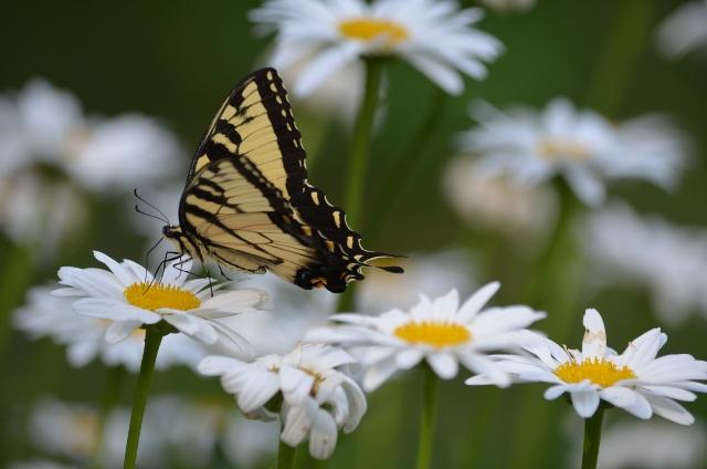 tiger swallowtail (640x424)