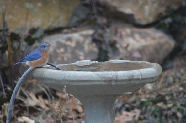bluebird 1-25-1 (640x424)