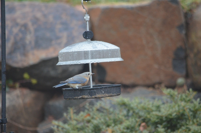 bluebird female (640x424)