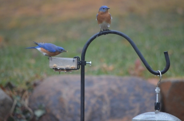 bluebirds 1 (640x424)