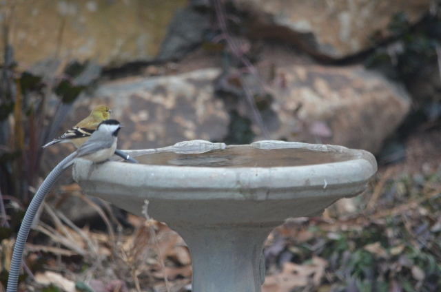 chickadee goldfinch - 7 (640x424)
