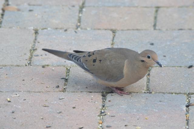 dove (640x424)
