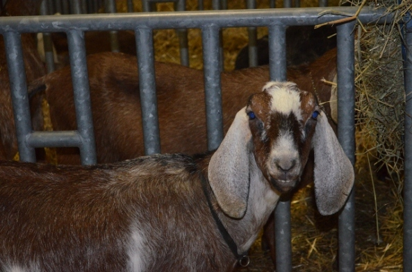 goat 2 (640x424)
