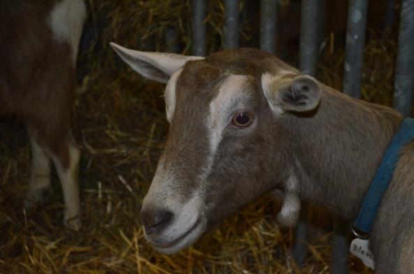 goat 3 (640x424)