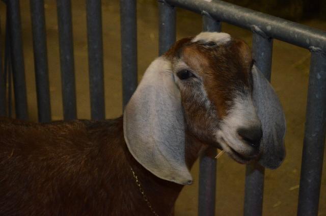 Goat (640x424)