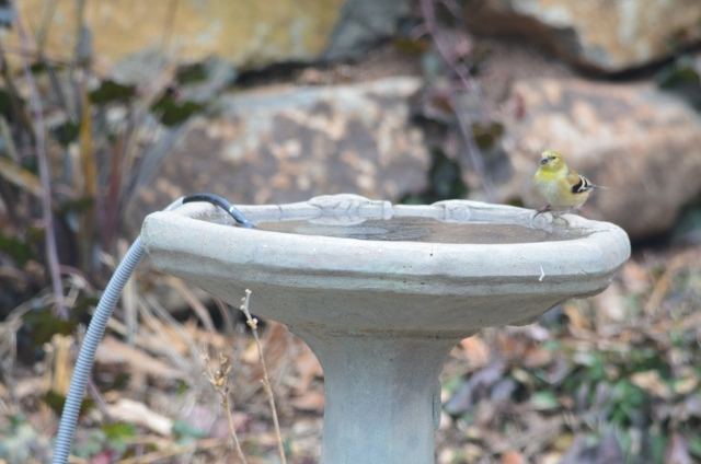 gold finch bird bath 1-25 (640x424)