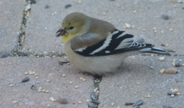 goldfinch 2 (640x377)
