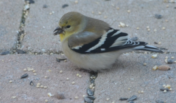 goldfinch 2 (640x377)