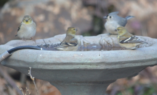 goldfinsh titmouse birdbath (640x390)