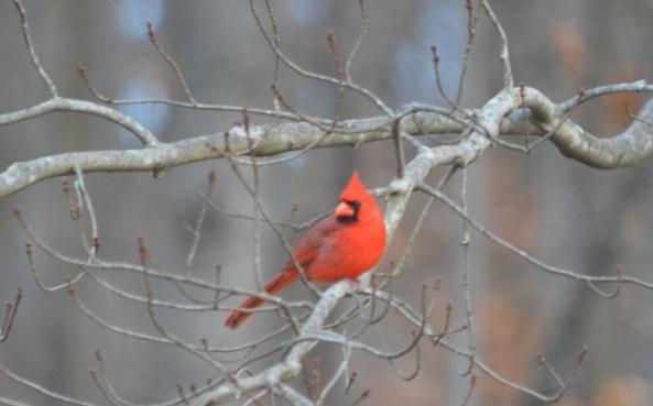 male cardinal (640x399)