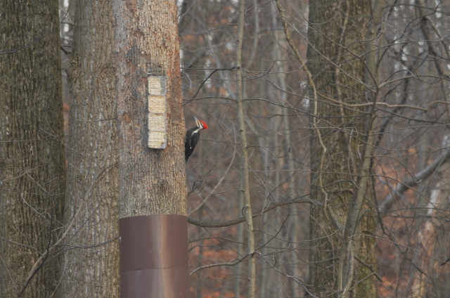 pileated 6 (640x424)
