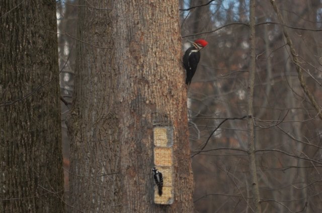 pileated cropped 2 (640x424)
