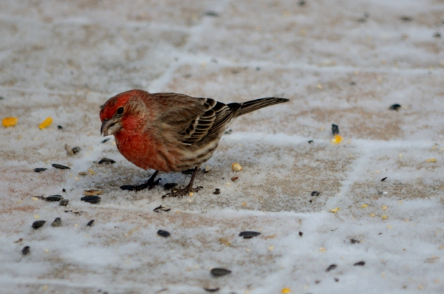 purple finch (640x424)