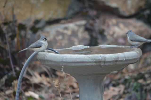 titmouse birdbath 1-25-2 (640x424)