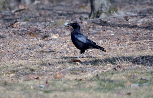 crow (640x414)