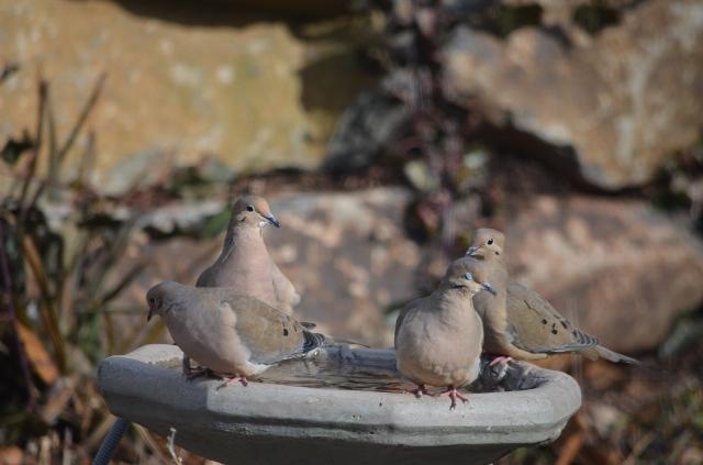 doves 4 birdbath (640x423)