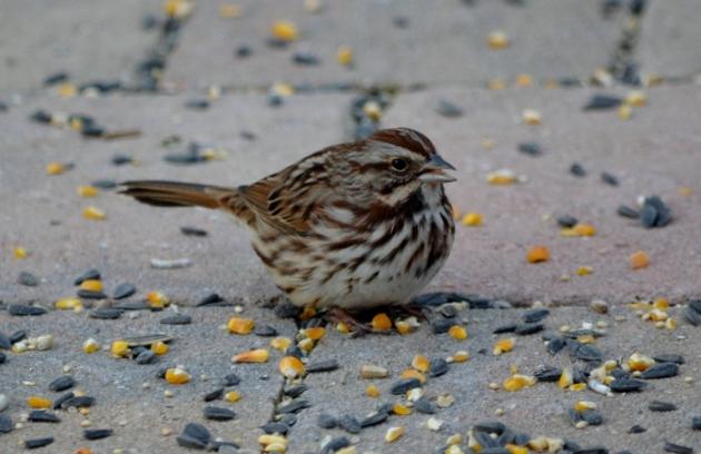 song sparrow 2 (640x424)