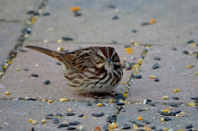 song sparrow (640x424)
