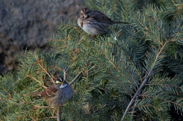 white throat song sparrow (640x424)