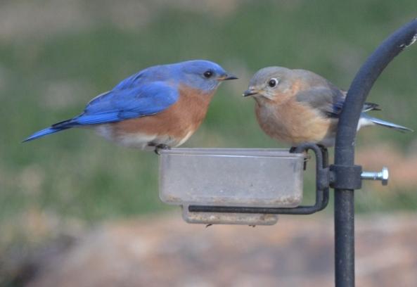 bluebird pair 2 (640x441)