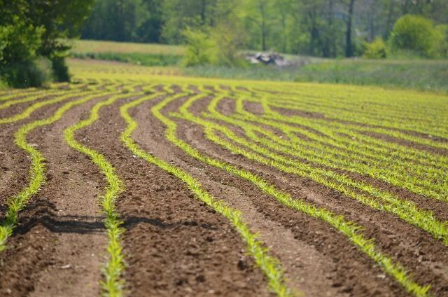 corn field (640x424)