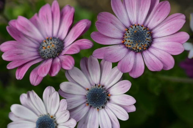 Purple African Daisy (640x424)