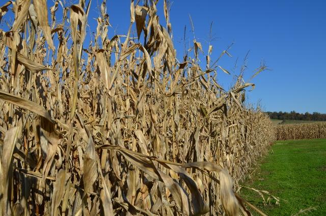 corn stalks (640x424)