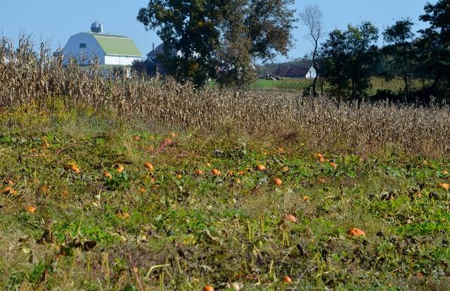 pumpkins (640x415)