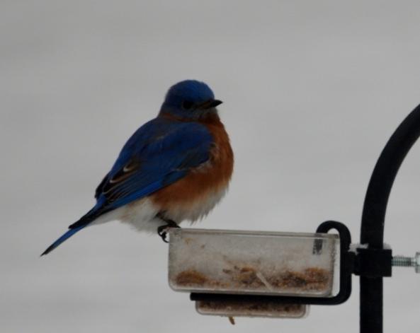 bluebird 2 (640x509)
