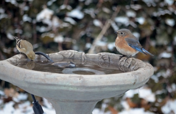 bluebird and goldfinch (640x417)