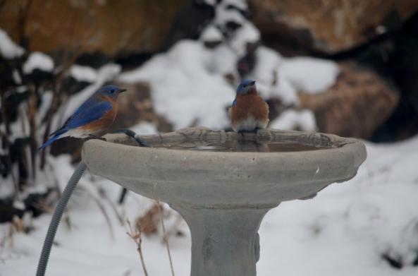 bluebird bb (640x423)