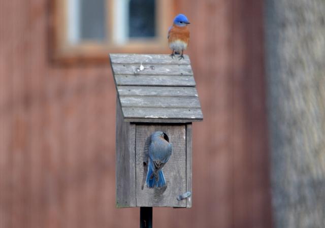 bluebird house (640x449)