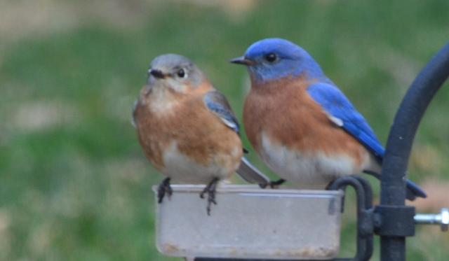 bluebird pair 3 (640x373)