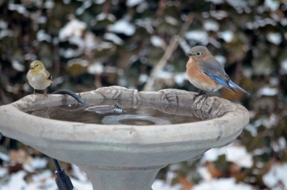 bluebirdandfinch 2 (640x424)