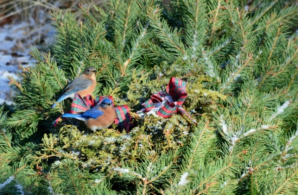 bluebirds wreath (640x419)