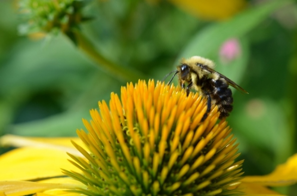 bee on cone flower (640x424)