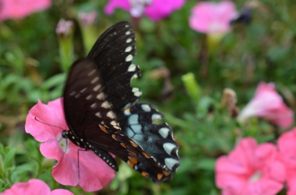 spice bush butterfly (640x424)