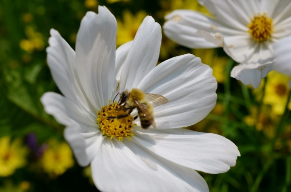 bee on cosmos (640x424)