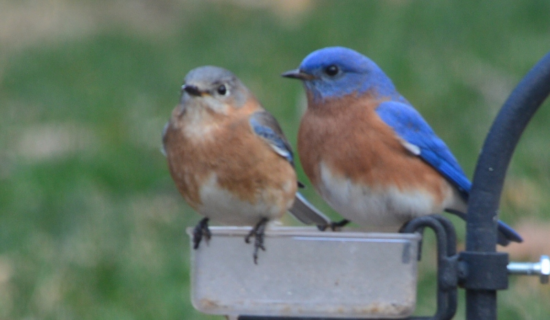 bluebird pair 3 (800x466)