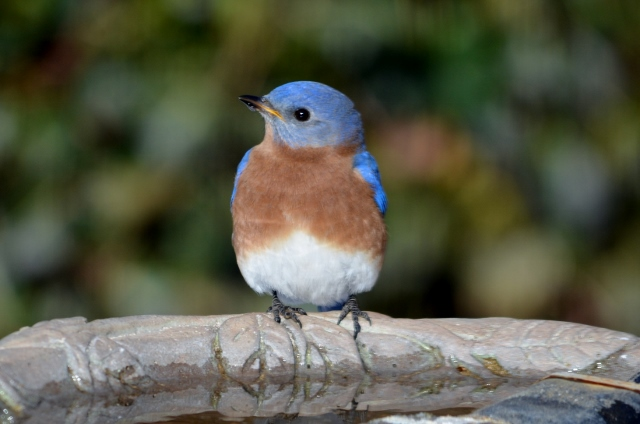bluebird 2 (640x424)
