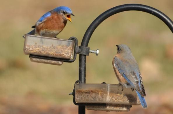 bluebird pair (640x424)