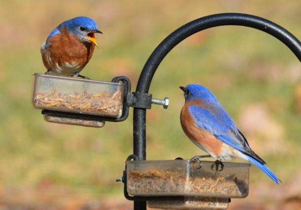 bluebird squawk (640x447)