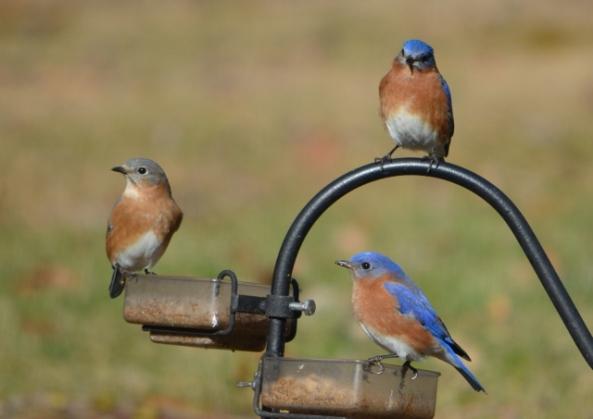 bluebirds (640x453)