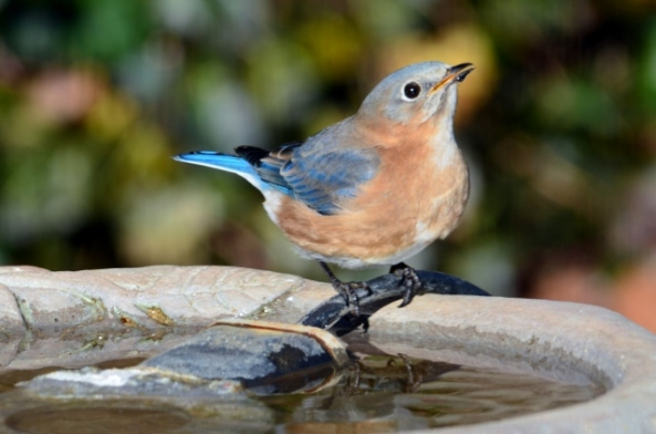 female BB on birdbath (640x424)